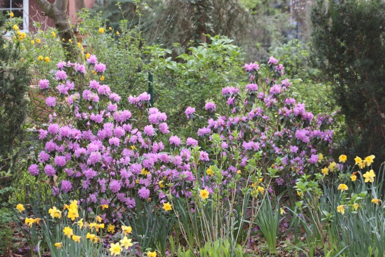 Rhododendron praecox im Maerz