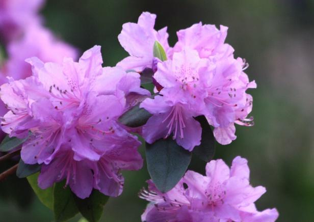 Frühlingsrhododendron