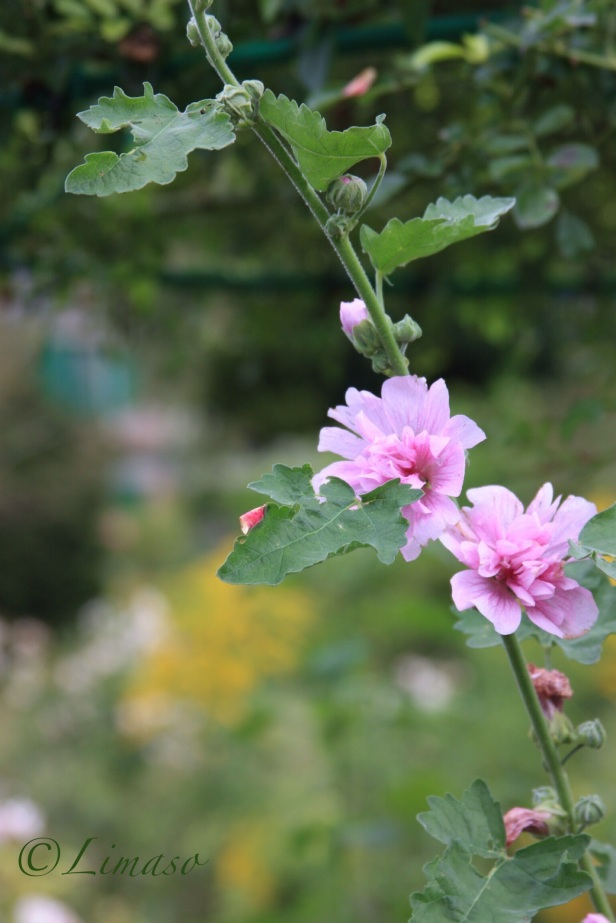 Malven im Jardin de Monet