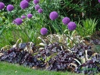 Allium and Heuchera