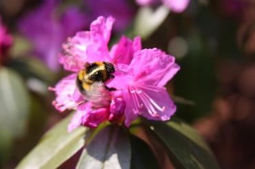 Hummel auf Rhododendron
