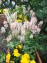Tiarella oder Schaumblüte