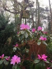 Der frühe Rhododendron praecox